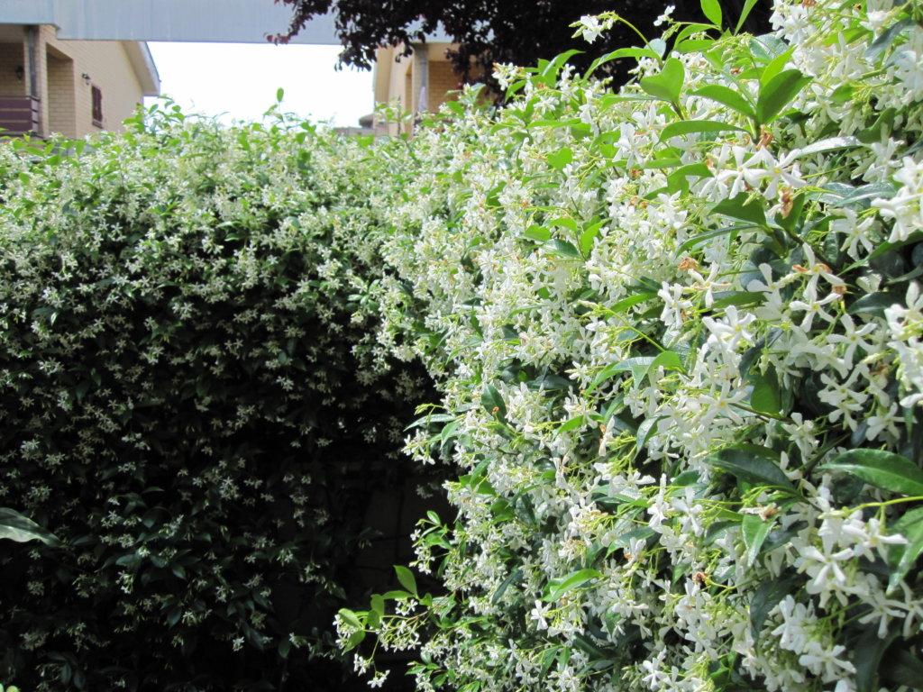 arbuste grimpant feuillage persistant vivace