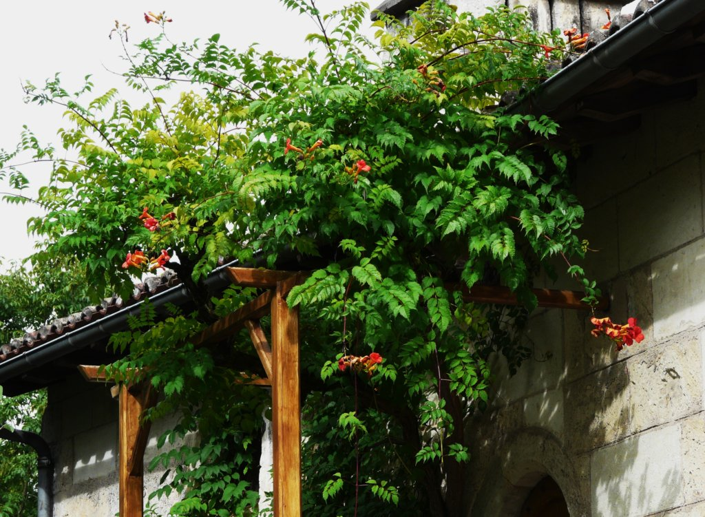 plante grimpante feuillage persistant pergola abri. Black Bedroom Furniture Sets. Home Design Ideas