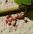 plante grimpante résistante au froid