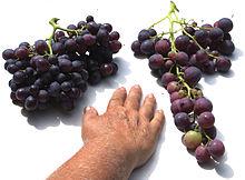 raisin de table variétés