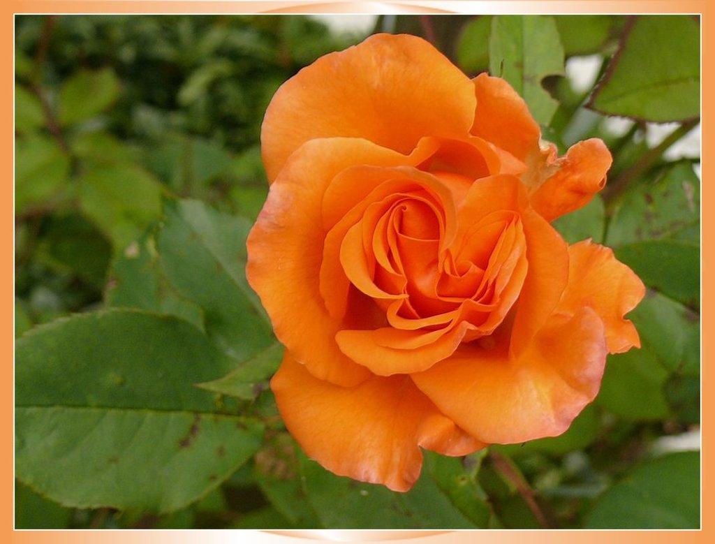 rosier jaune grimpant