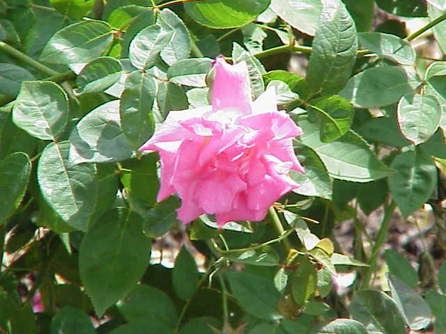 rosier liane
