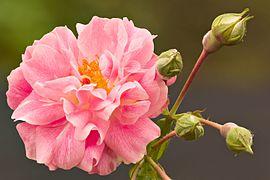 rosier parfumé a floraison continue
