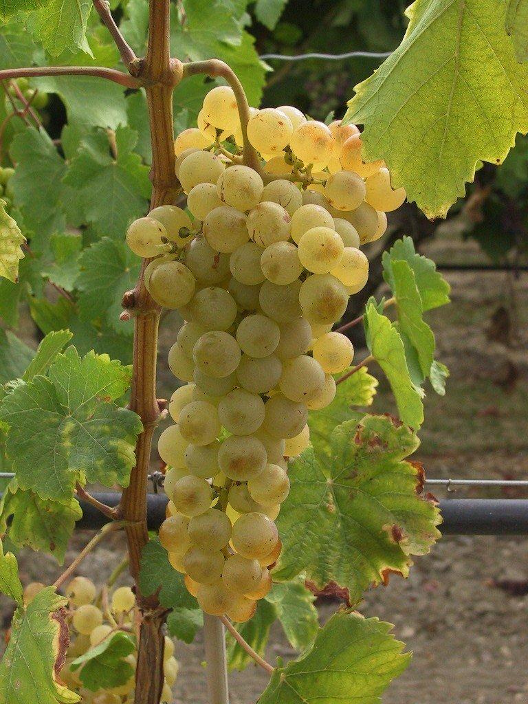 tailler la vigne en automne